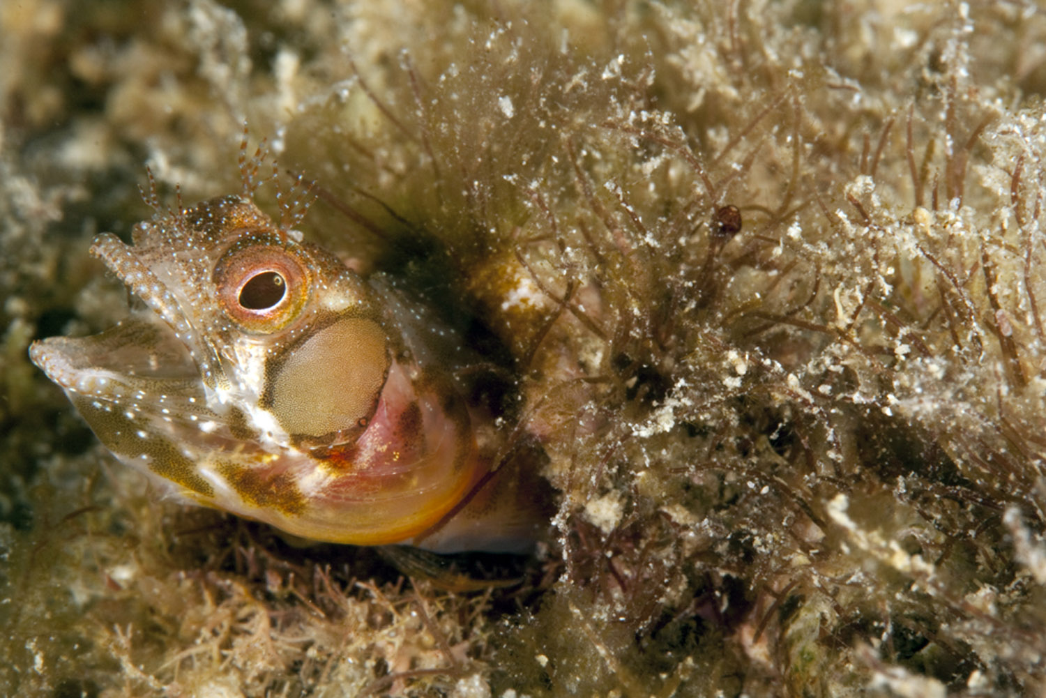 female browncheek blenny head shot