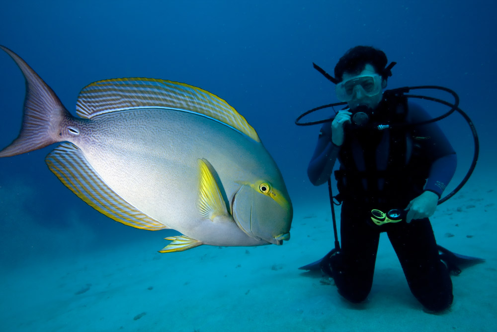 yellowfin surgeonfish and diver