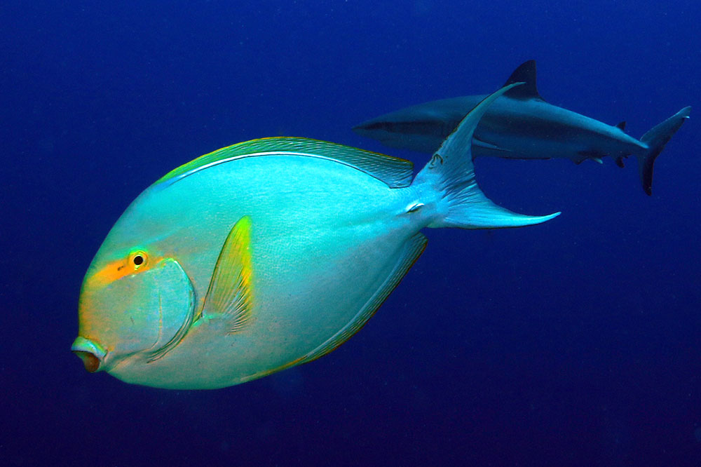 Acanthurus xanthopterus, Yellowfin surgeonfish,  Ledge-end, Great Barrier Reef IMG_8139.jpg