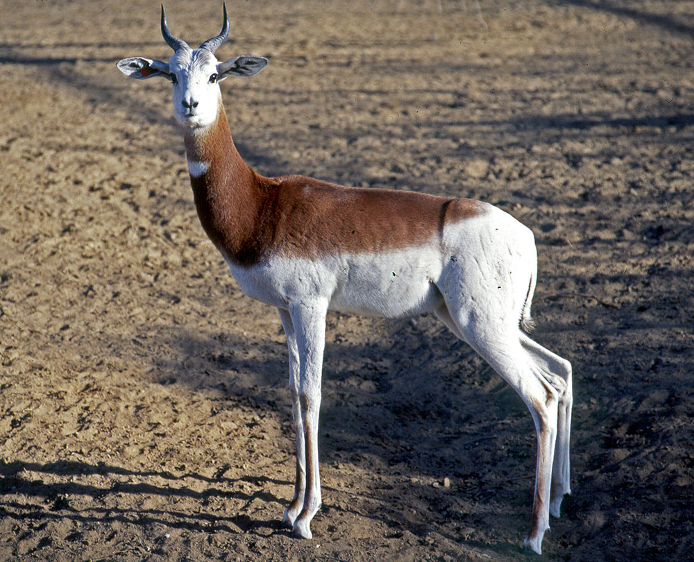 Addra or dama gazelle