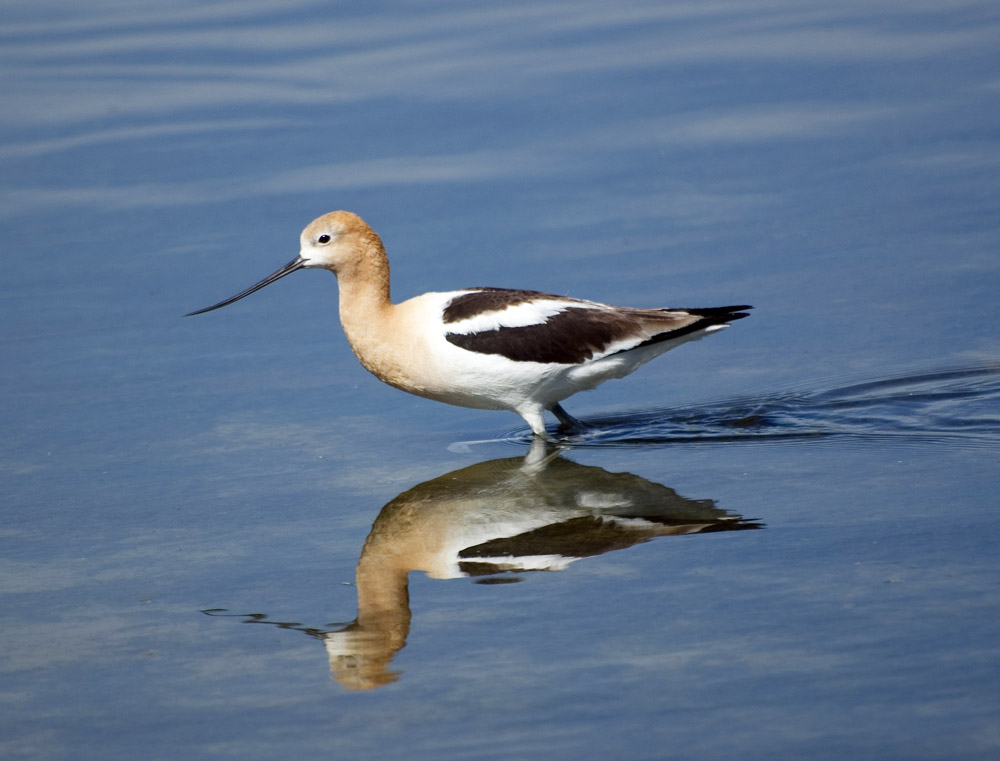 American avocet and refelction