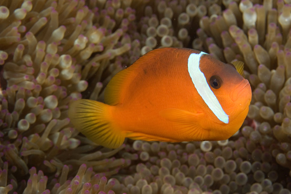Amphiprion barberi, Barber's anemonefish