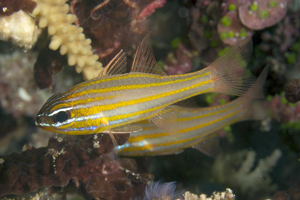 Apogon cyanosoma Yellowstriped cardinalfish, Kri Eco, Raja Ampat
