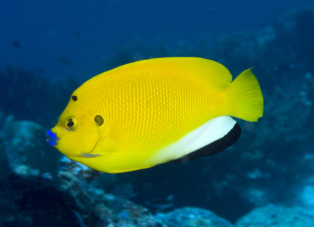 threespot angelfish photo