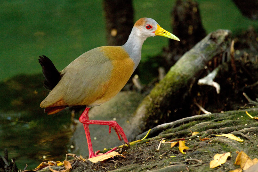 Aramides cajanea Gray-necked wood rail