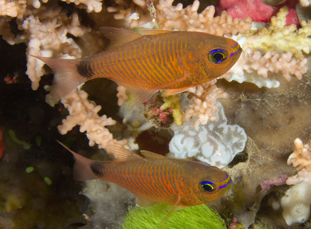 Archamia fucata narrowlined cardinalfish