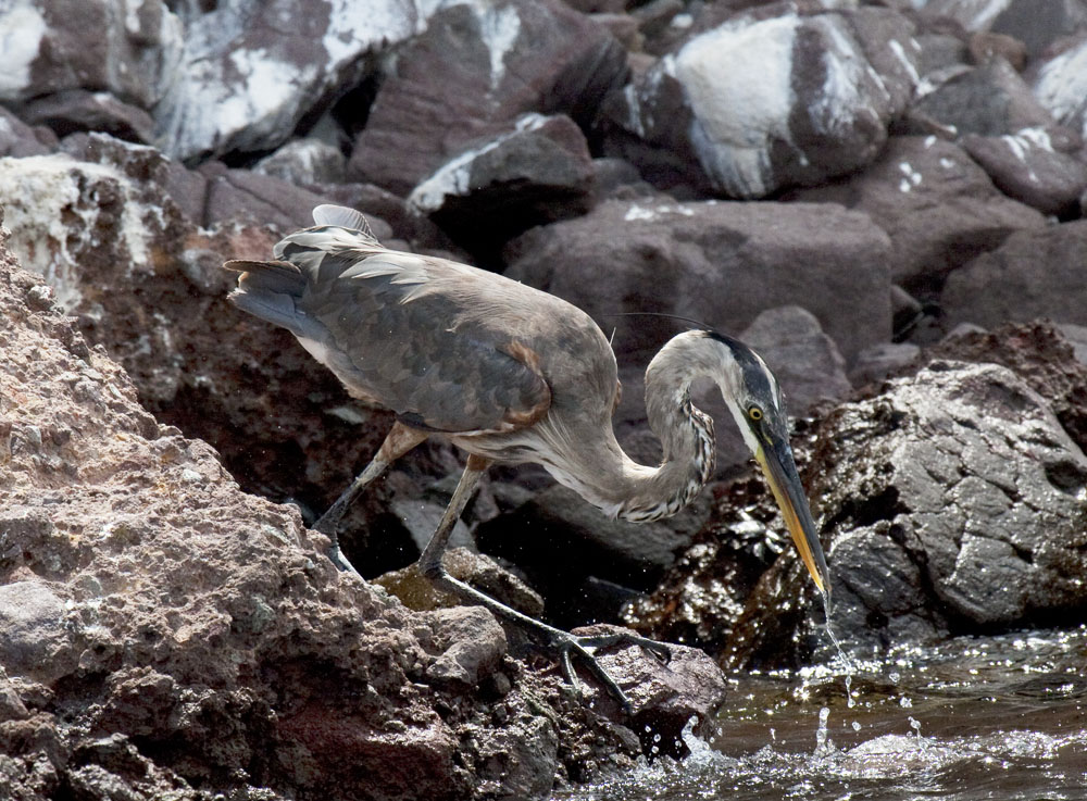 Ardea herodias, Great blue heron, Sea of Cortez