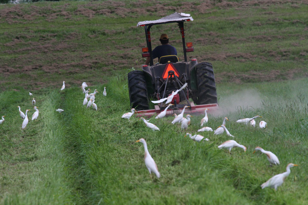 Ardea ibis cattle egrets following tractor mowing grass, Louisiana