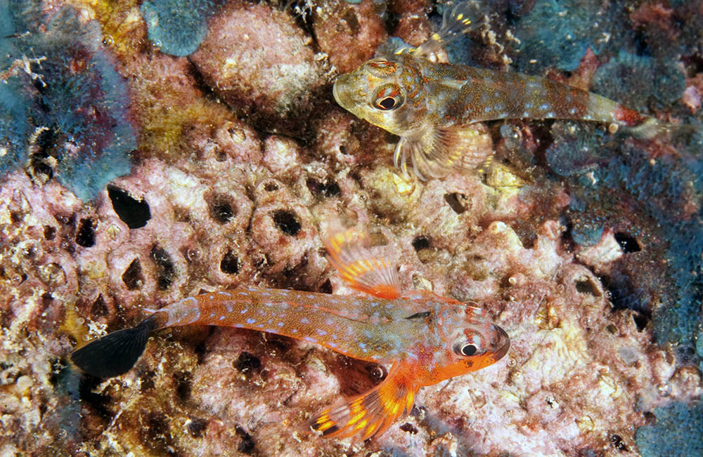 Axoclinus carminalis, Carmine triplefin courting pair, Sea of Cortez
