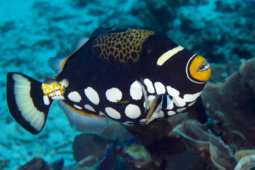 Balistoides conspicillum, Clown triggerfish and cleaner wrasse, Raja Ampat