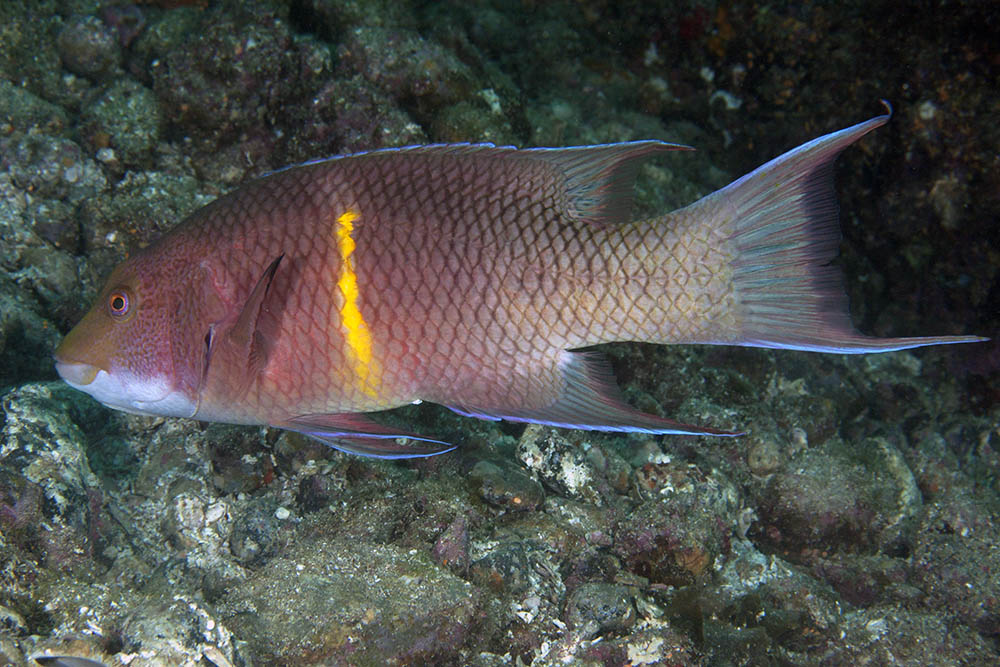 Bodianus diplotaenia, Mexican hogfish young terminal phase, Loreto, Sea of Cortez