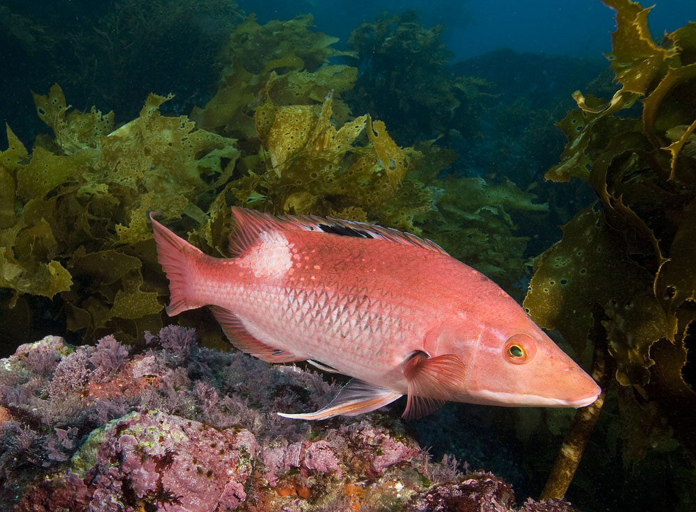 Red pigfish male
