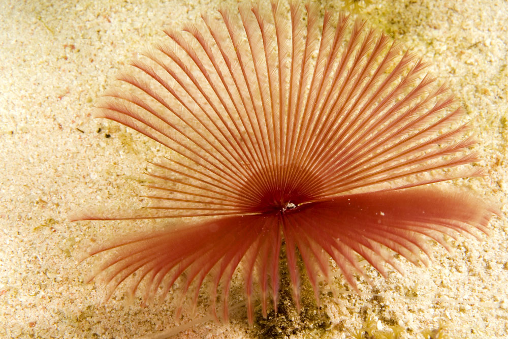 spotted feather duster worm photo