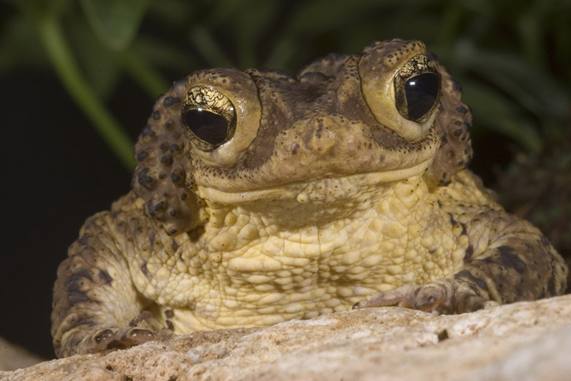Bufo (Peltophryne) lemur, Puerto Rican crested toad