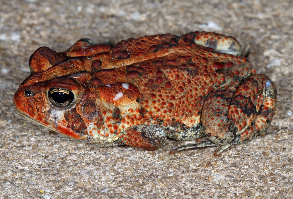 Southern toad oozing poison from parotid glands