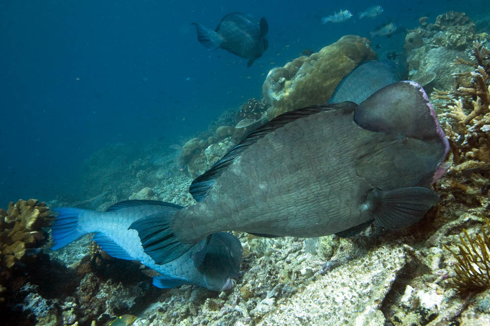 Bulbometopon muricatum Bumphead parrotfish, Raja Ampat, West Papua