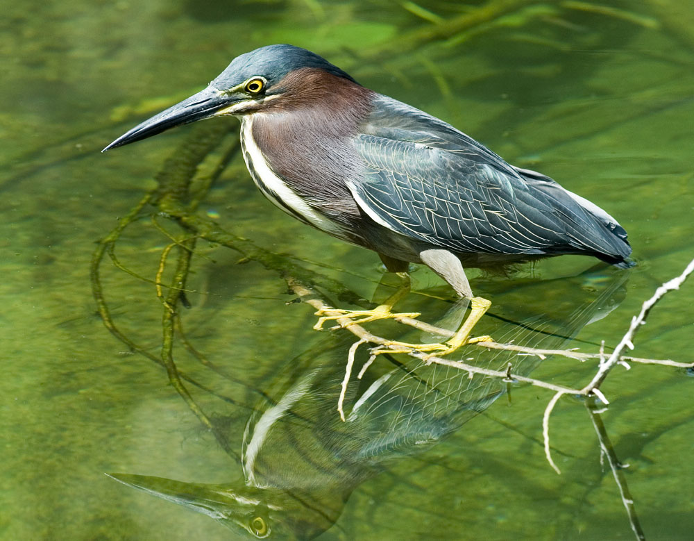 Butorides virescens Green backed heron