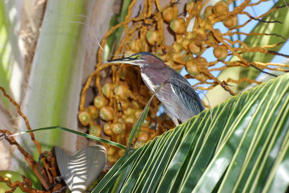 Green heron in coconut tree Belize