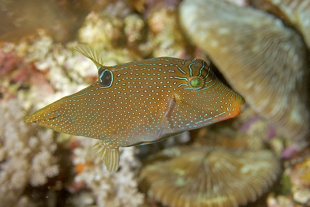 Canthigaster papua Papuan toby Raja Ampat