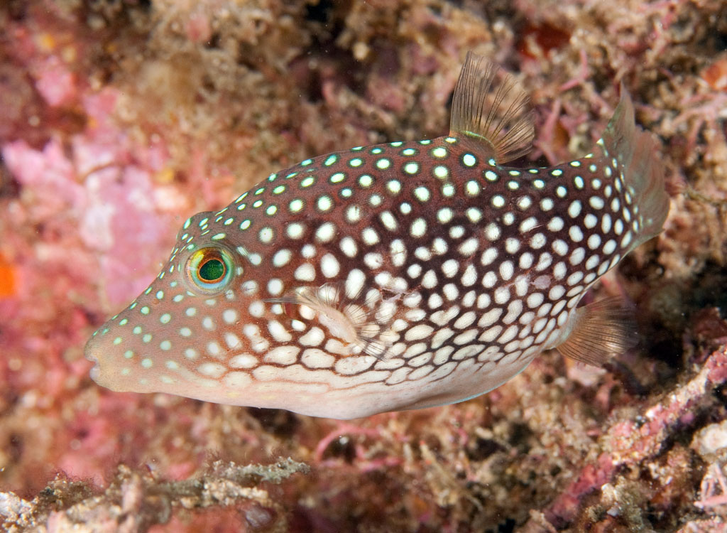 Canthigaster punctatissima, Spotted sharpnose puffer, Sea of Cortez