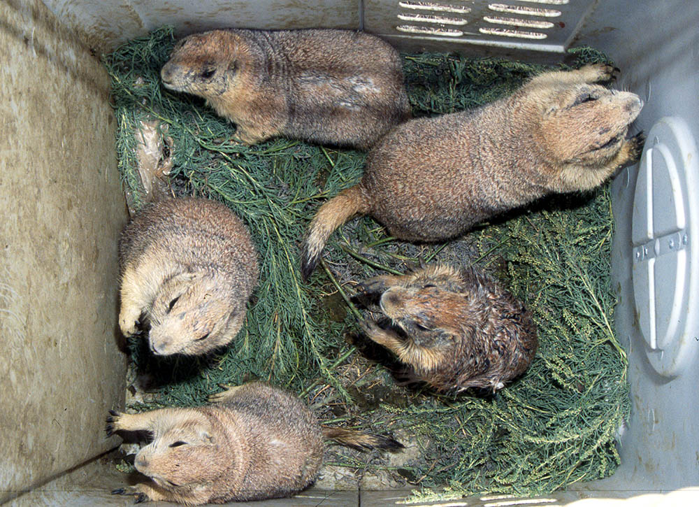 Captured prairie dogs awaiting release