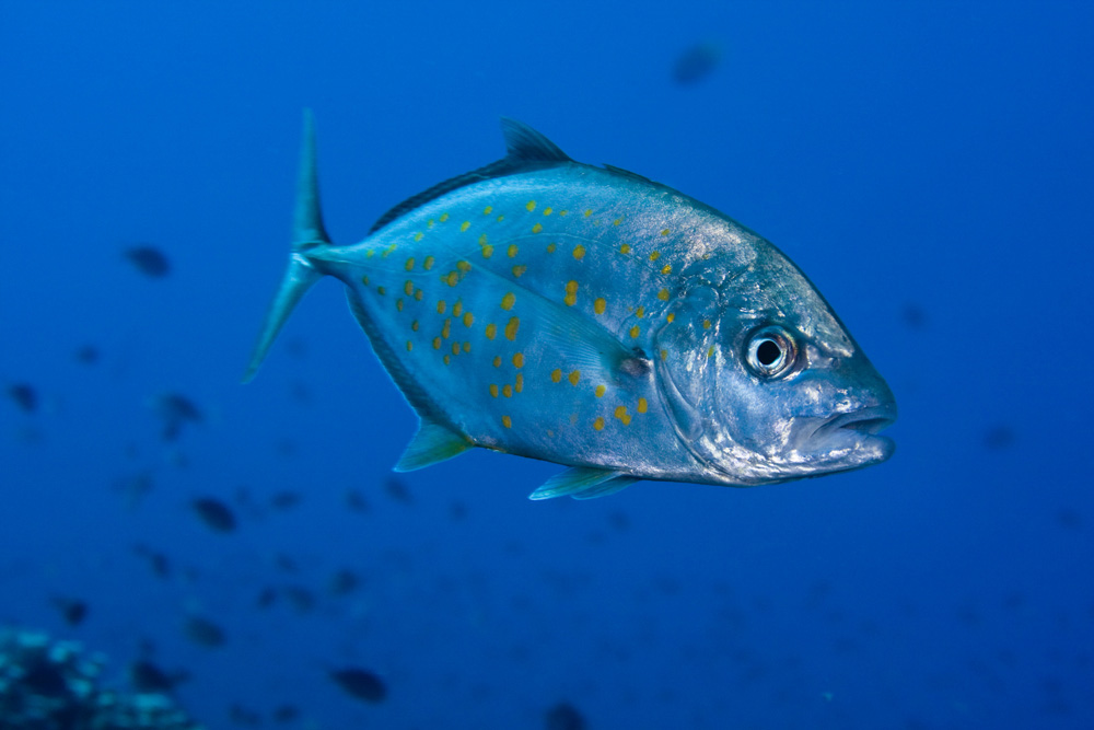 orange spotted trevally