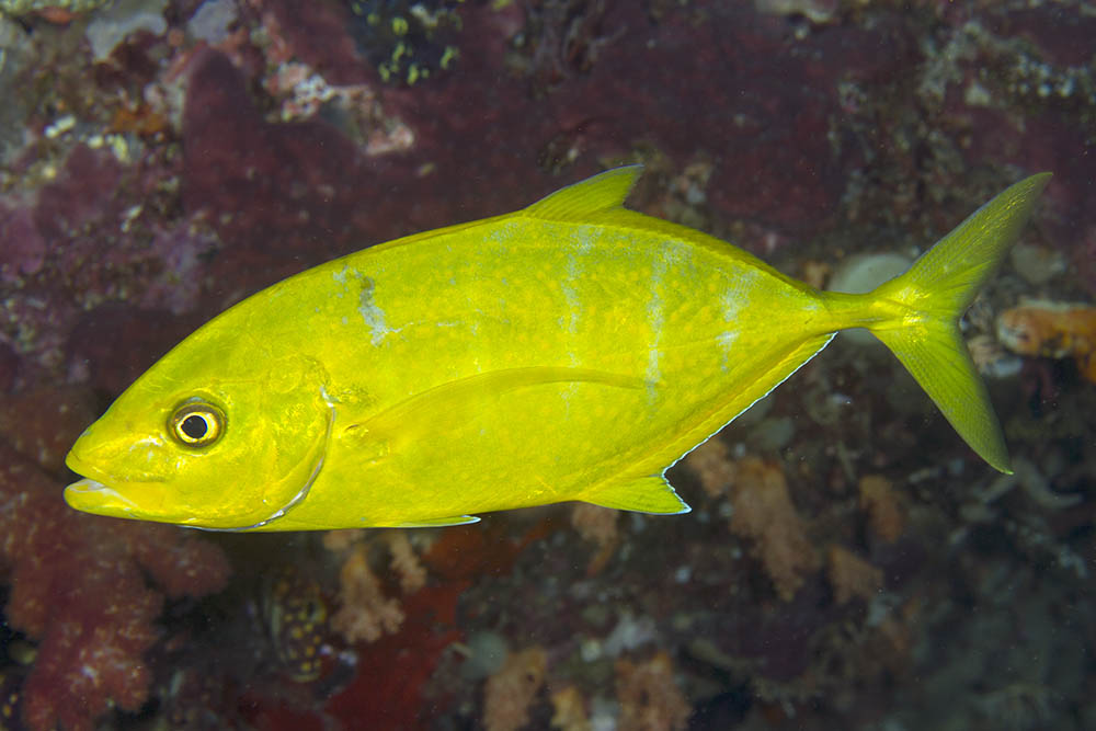 Yellow orange-spotted trevally
