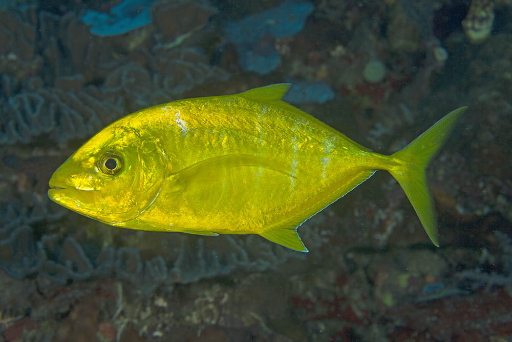 Carangoides bajad Orange-spotted trevally, Raja Ampat, West Papua