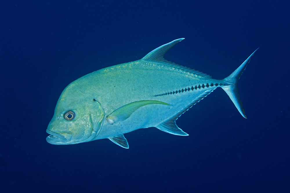 Caranx lugubris Black jack Roca Partida, Revillagigedo islands