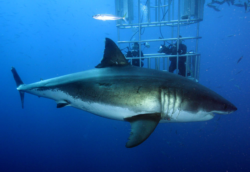 great whitre shark and shark cage