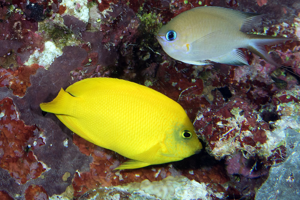 Centropyge heraldi Yellow pygmy angelfish Admiralty Anchor GBR IMG_8014.jpg