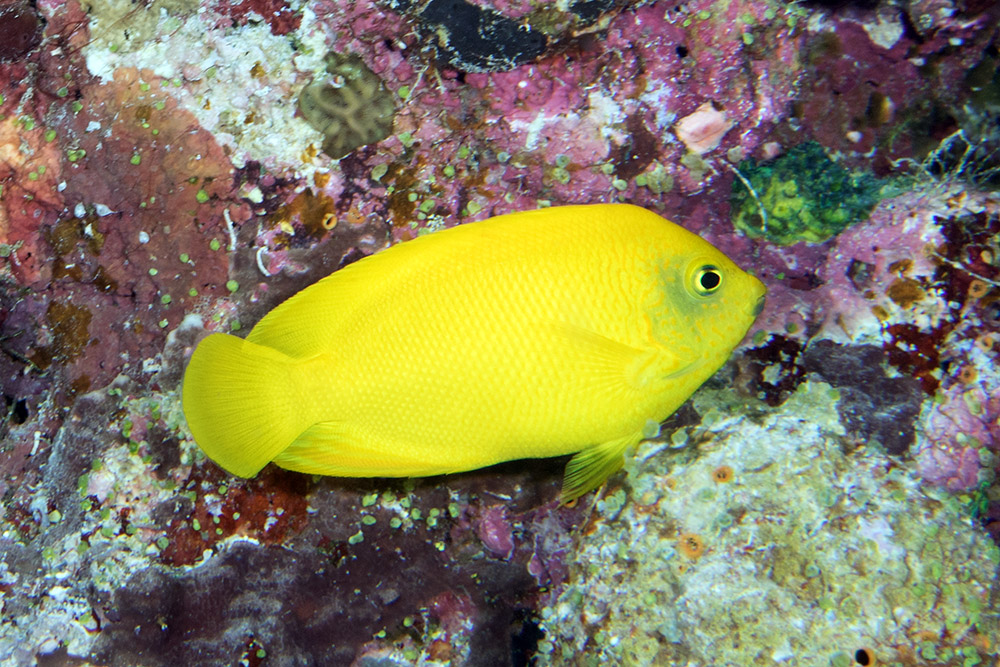 Centropyge heraldi Yellow pygmy angelfish Admiralty Anchor GBR IMG_8015.jpg