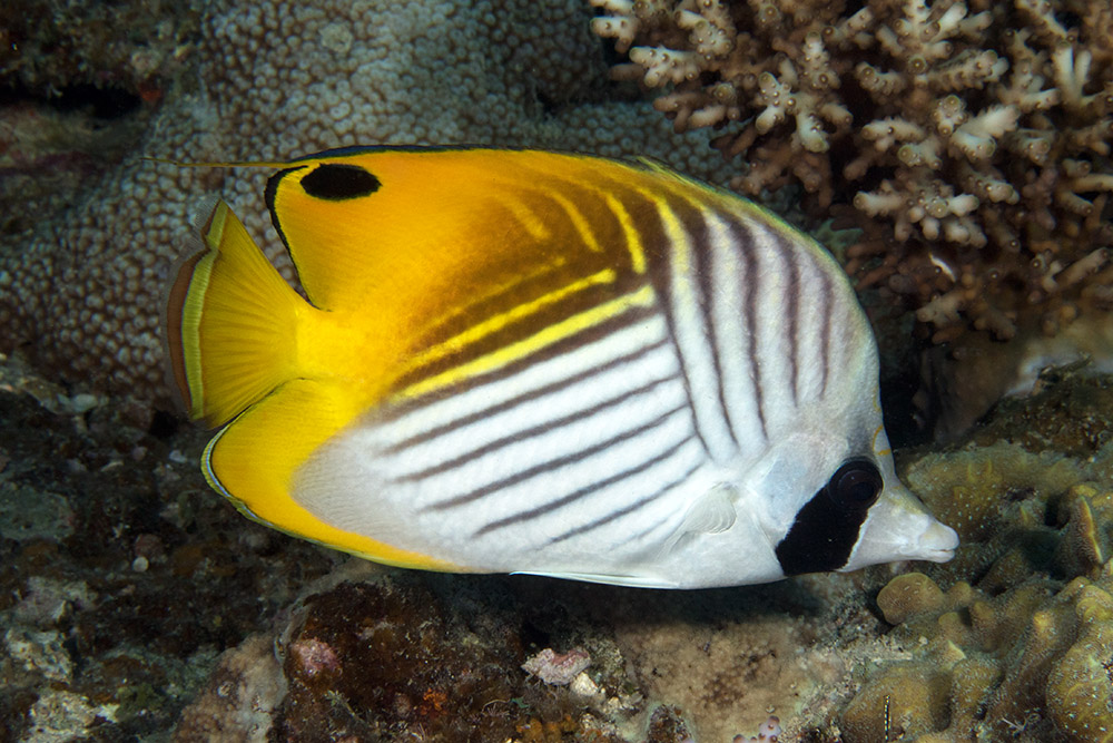 Chaetodon auriga Threadfin butterflyfish, Lighthouse bommie, Great Barrier Reef IMG_8370.jpg