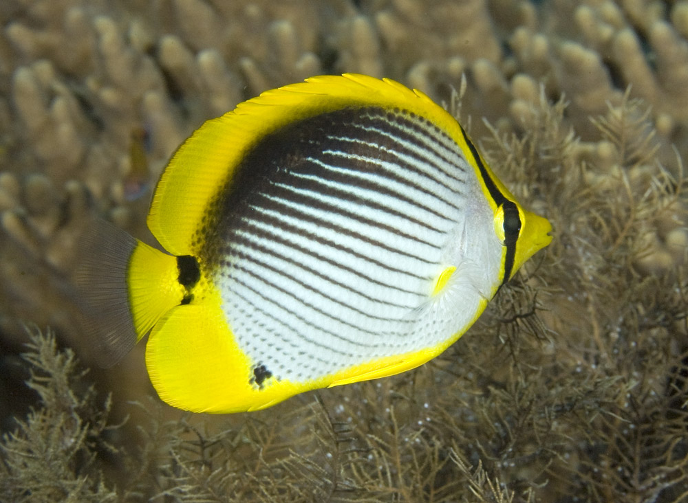 photo of black-backed butterflyfish