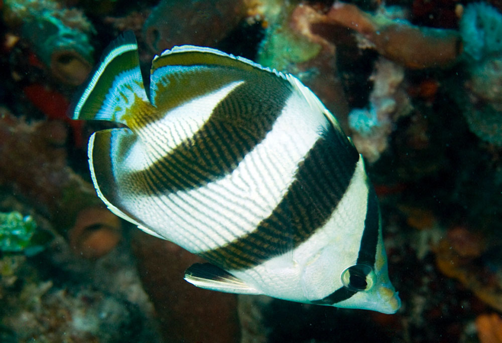 Chaetodon striatus, Banded butterflyfish, Glover's Reef, Belize