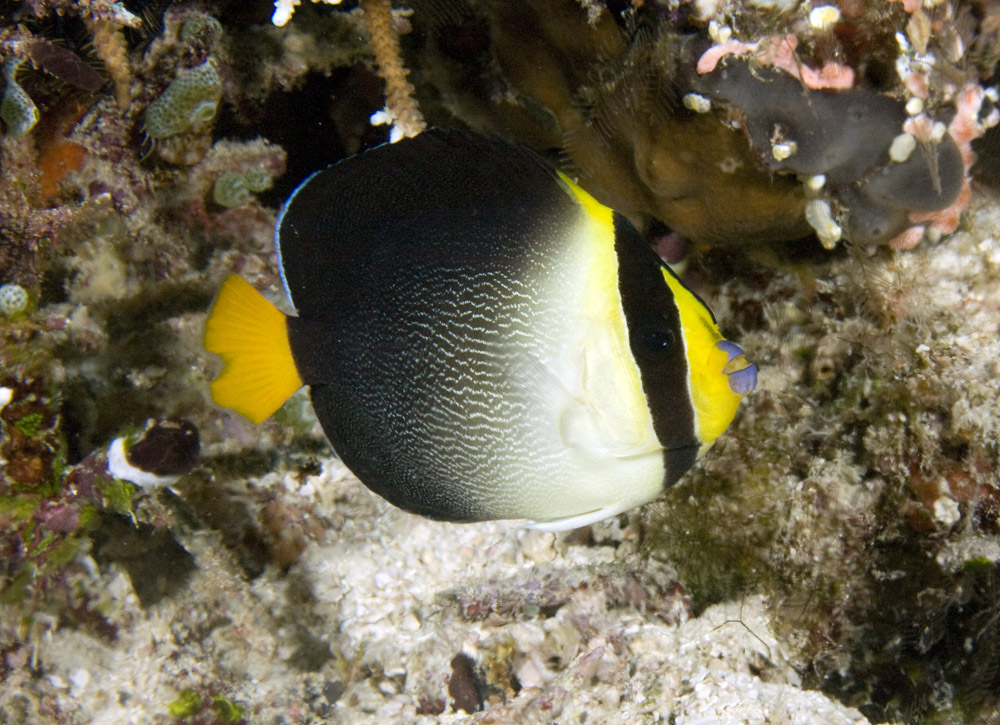 vermiculated angelfish photo threequarters