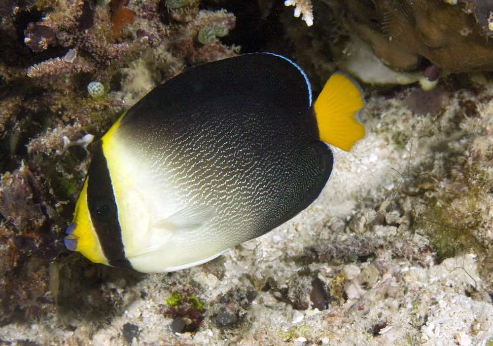 vermicualted angelfish photo
