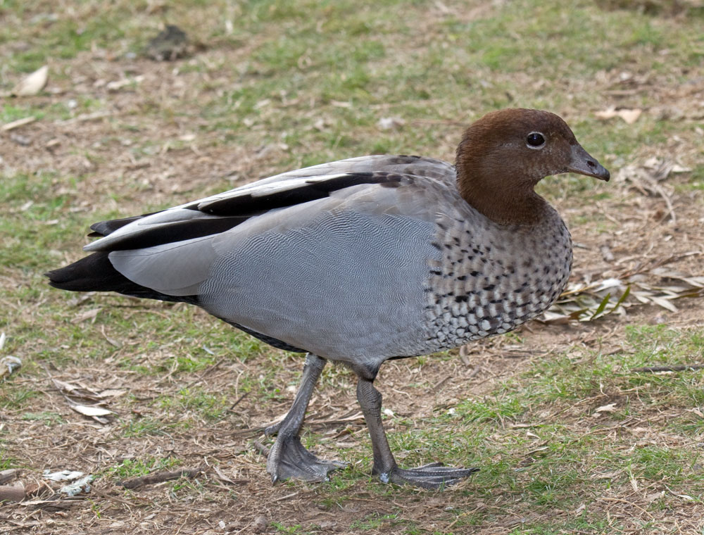 Maned duck male, Australia