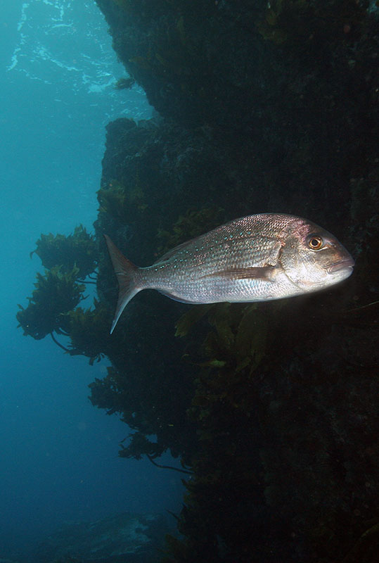 Chrysophrys auratus snapper, Poor Knights, New Zealand
