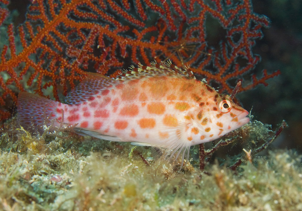 Pixy or coral hawkfish