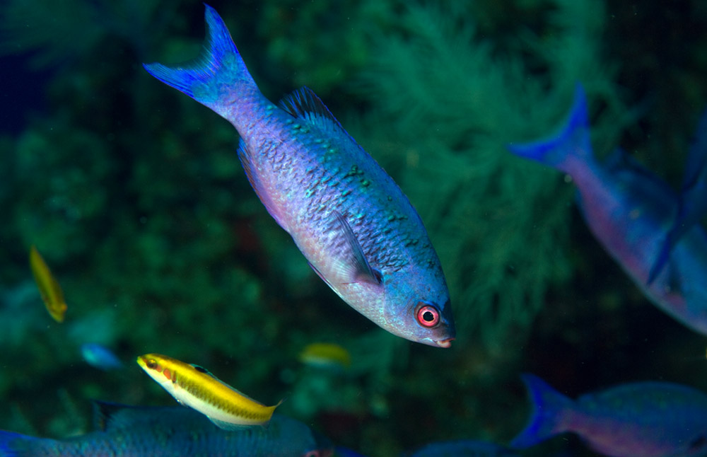 Clepticus parrae, Creole wrasse