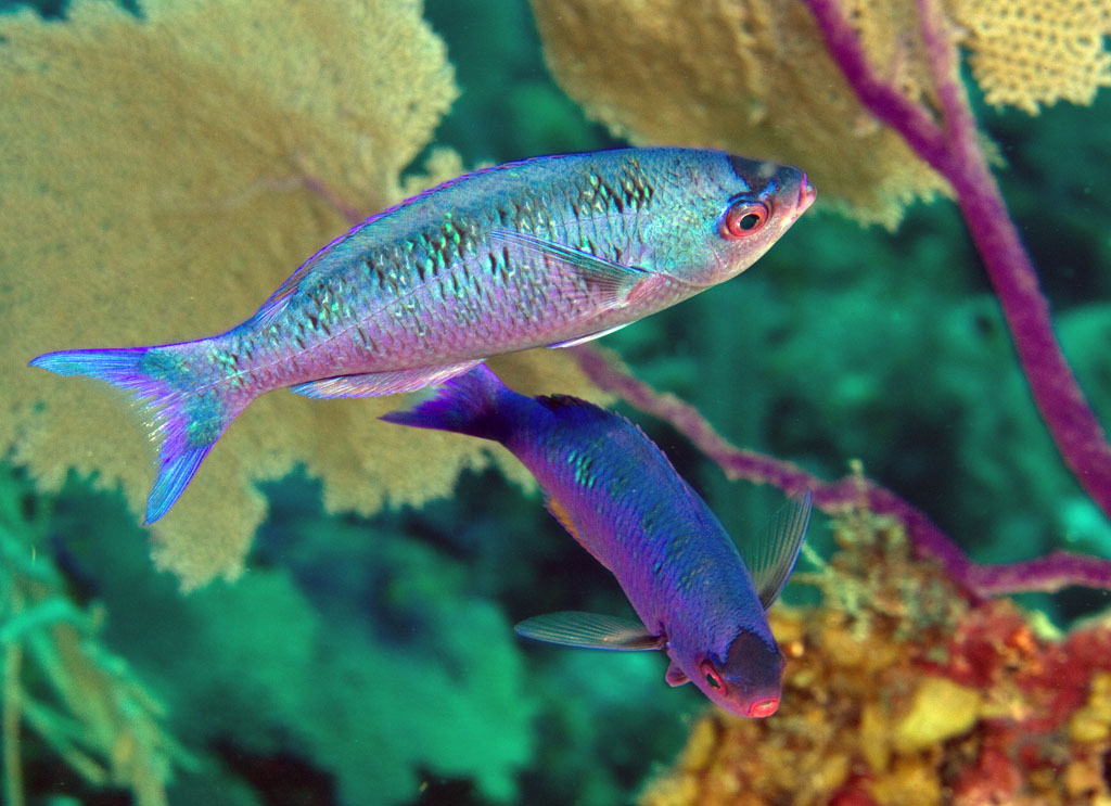 Clepticus parrae, Creole wrasse (Labridae), Glover's Reef, Belize