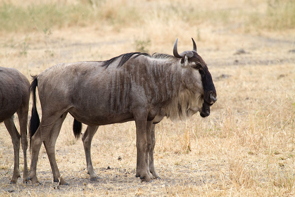 Connochaetes taurinus Common or blue wildebeest