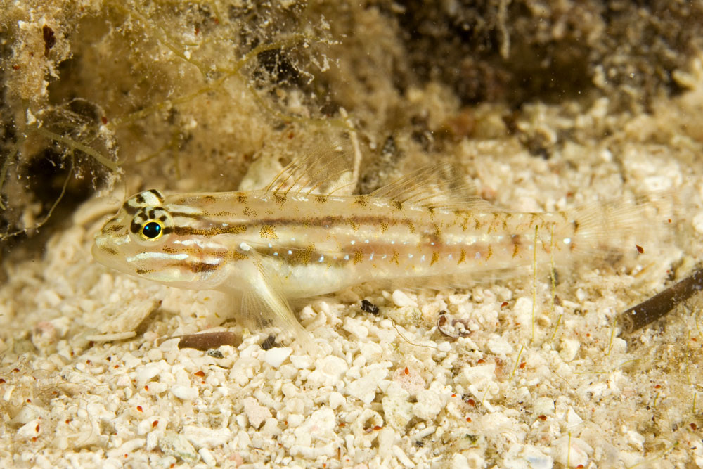 Bridled goby