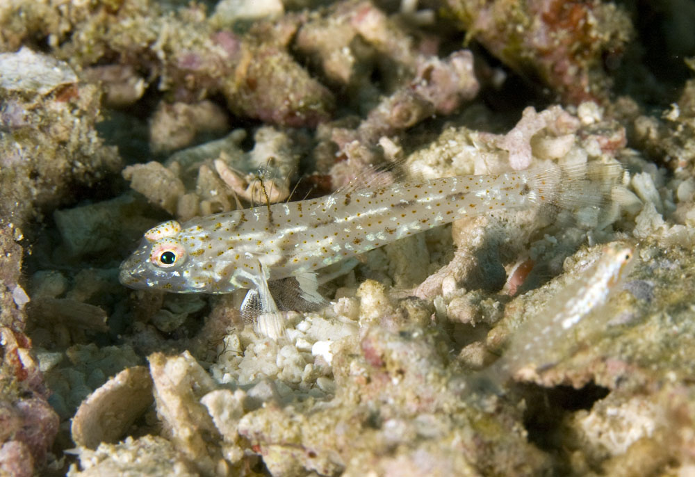 Neophyte goby photo