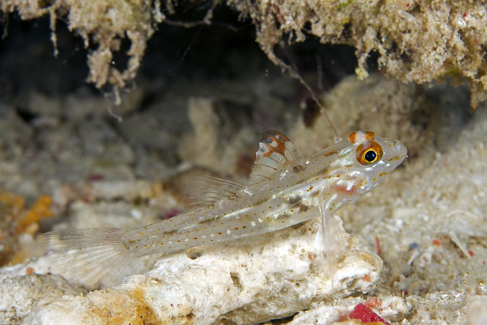 Coryphopterus signipinnis signalfin goby Raja Ampat