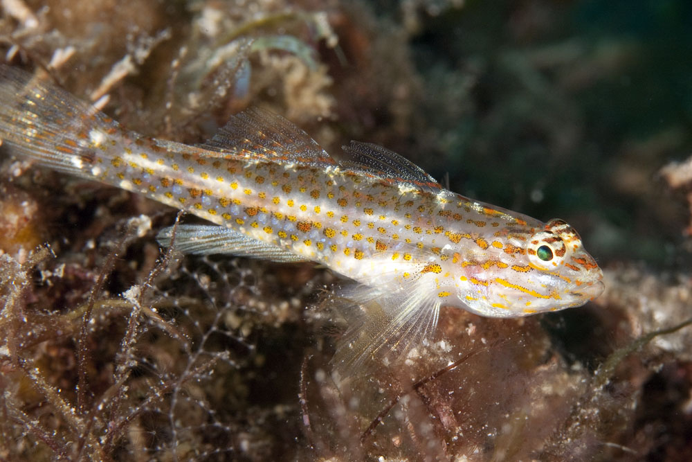 Coryphopterus urospilus, redlight goby, Sea of Cortez, Baja California Sur
