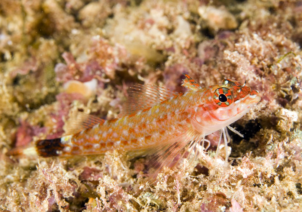 Crocodilichthys gracilis, the Lizard Triplefin, Sea of Cortez endemic