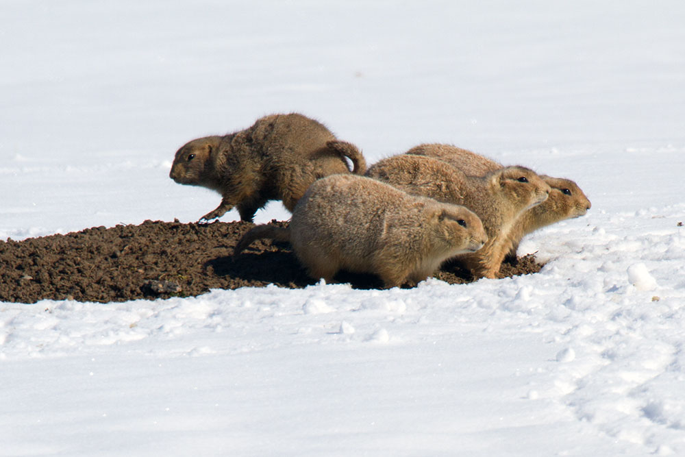 Cynomys ludovicianus Black-tailed Prairie dogs in snow, Denver