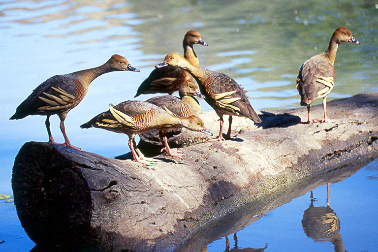 Plumed tree ducks